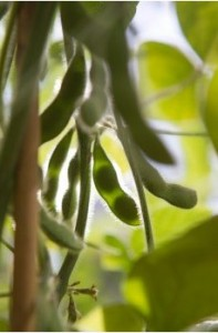 Grant will help scientists uncover hidden soybean genes