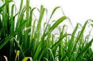 Technology that converts discarded sugar plant leaves into bioplastics