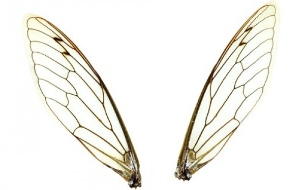 Bug wings inspire low-cost, biodegradable material